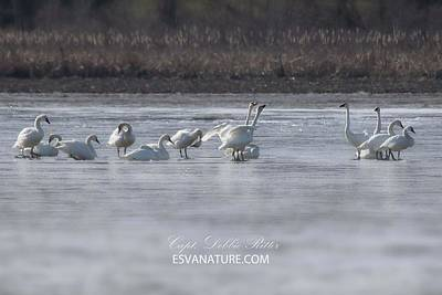 Photograph - Tundra Swans 1414 by Captain Debbie Ritter
