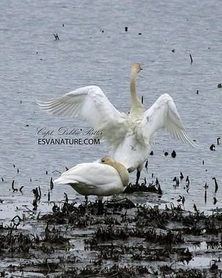 Photograph - Tundra Swans 1553 by Captain Debbie Ritter