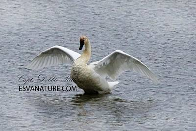Photograph - Tundra Swans 1568 by Captain Debbie Ritter
