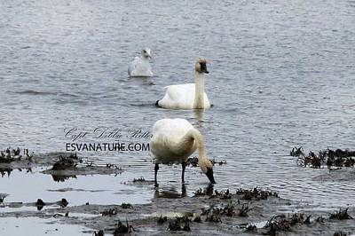 Photograph - Tundra Swans 1580 by Captain Debbie Ritter