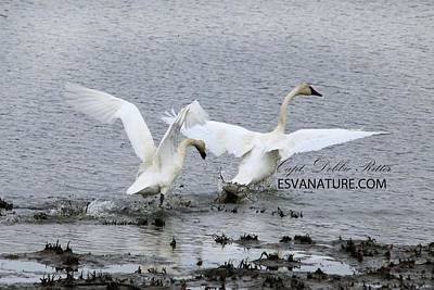 Photograph - Tundra Swans 1598 by Captain Debbie Ritter