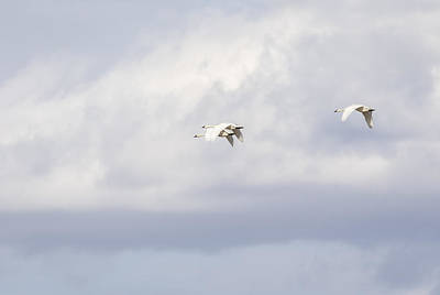 Tundra Swan Photograph - Tundra Swans 2-2015 by Thomas Young