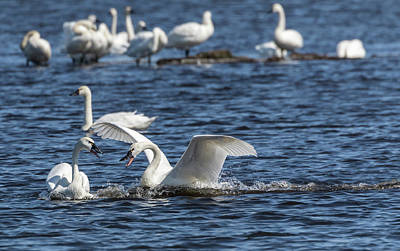 Photograph - Tundra Swans 2018-1 by Thomas Young