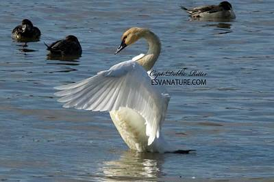 Photograph - Tundra Swans 4119 by Captain Debbie Ritter