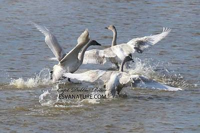 Photograph - Tundra Swans 4284 by Captain Debbie Ritter