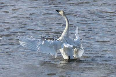 Photograph - Tundra Swans 4613 by Captain Debbie Ritter