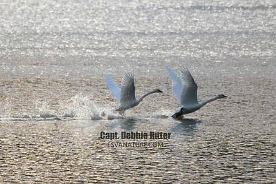 Photograph - Tundra Swans 5179 by Captain Debbie Ritter