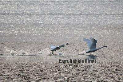 Photograph - Tundra Swans 5182 by Captain Debbie Ritter