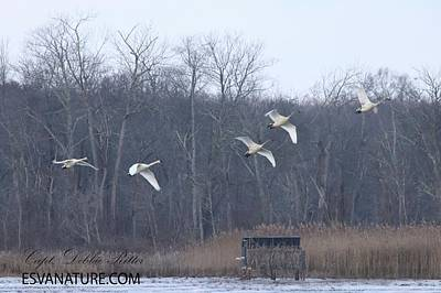 Photograph - Tundra Swans 6957 by Captain Debbie Ritter
