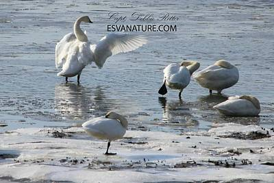 Photograph - Tundra Swans 8233 by Captain Debbie Ritter