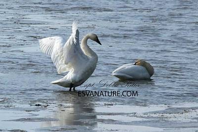 Photograph - Tundra Swans 8311 by Captain Debbie Ritter