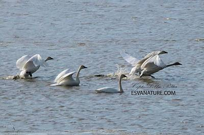 Photograph - Tundra Swans 8326 by Captain Debbie Ritter