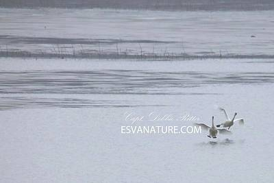 Photograph - Tundra Swans 8901 by Captain Debbie Ritter