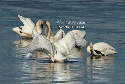 Photograph - Tundra Swans 9579 by Captain Debbie Ritter