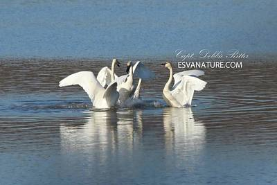 Photograph - Tundra Swans 9663 by Captain Debbie Ritter
