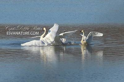 Photograph - Tundra Swans 9665 by Captain Debbie Ritter