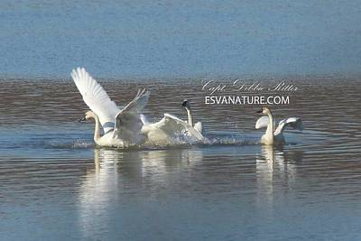 Photograph - Tundra Swans 9666 by Captain Debbie Ritter