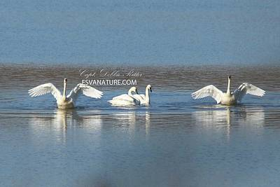 Photograph - Tundra Swans 9680 by Captain Debbie Ritter