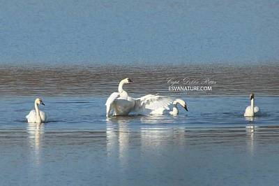 Photograph - Tundra Swans 9684 by Captain Debbie Ritter