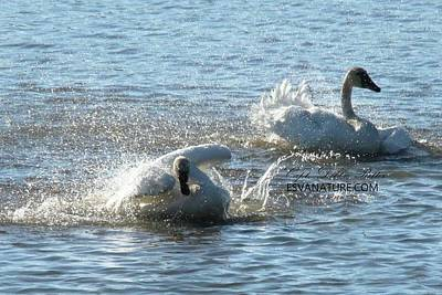 Photograph - Tundra Swans 9887 by Captain Debbie Ritter