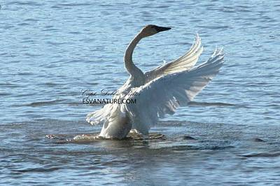 Photograph - Tundra Swans 9894 by Captain Debbie Ritter