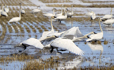 Photograph - Trumpeter Swans Alberta Canada 1 by Bob Christopher