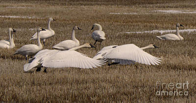 Photograph - Trumpeter Swans Alberta Canada 2 by Bob Christopher