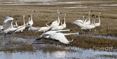 Photograph - Tundra Swans Alberta Canada 3 by Bob Christopher