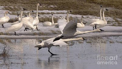 Photograph - Trumpeter Swans Alberta Canada 4 by Bob Christopher