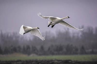 Photograph - Tundra Swans In Flight by LeeAnn McLaneGoetz McLaneGoetzStudioLLCcom