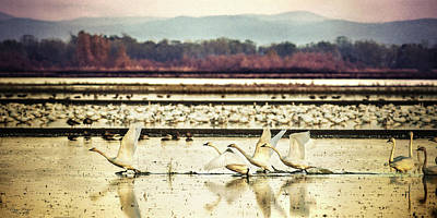 Photograph - Tundra Swans Lift Off by Abram House
