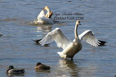 Photograph - Tundra Swans Lovey Dovey 4115 by Captain Debbie Ritter
