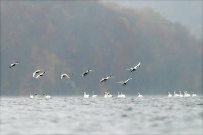 Photograph - Tundra Swans - Migrating Through West Virginia. by Dan Friend