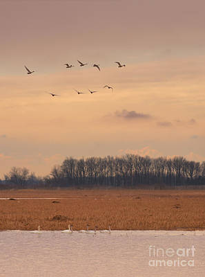 Photograph - Tundra Swans Of Metzgers by Charles Owens