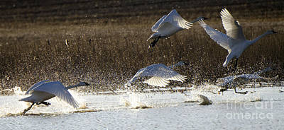 Photograph - Tundra Swans Take Off 2 by Bob Christopher