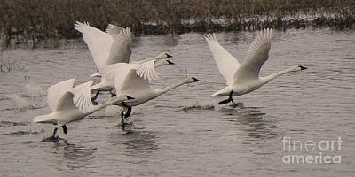 Canadian Wildlife Photograph - Tundra Swans Take Off by Bob Christopher
