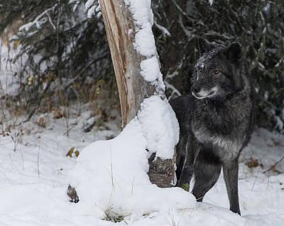 Photograph - Tundra Wolf 9097 by Teresa Wilson