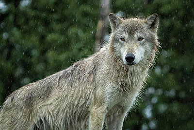 Photograph - Tundra Wolf In The Rain by Belinda Greb