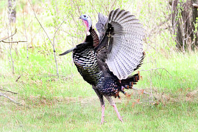 Photograph - Turkey Flap by Brook Burling
