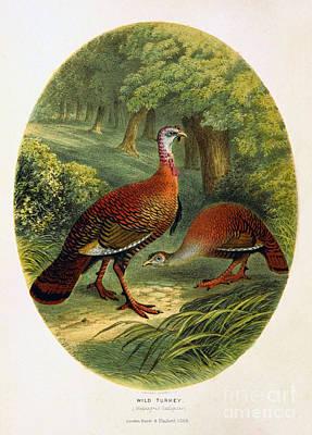Turkey From The Sportsman And Naturalist Restored Art Print