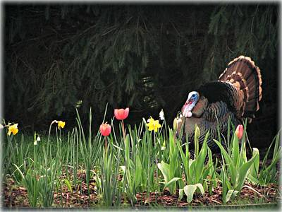 Photograph - Turkey In The Tulips by Katie Wing Vigil
