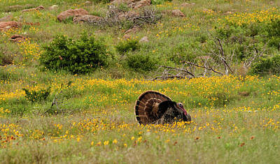 Photograph - Turkey In Wichita Mountains by Katherine Worley
