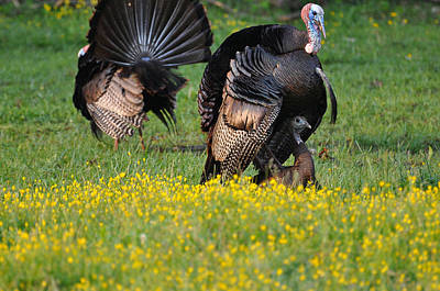 Gobble Photograph - Turkey Love by Todd Hostetter