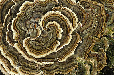 Photograph - Turkey Tail Fungus by Jim Zablotny