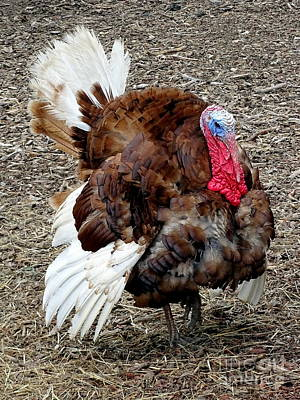 Photograph - Turkey Trot by Ed Weidman