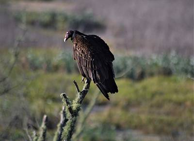 Photograph - Turkey Vulture And Wetlands by Warren Thompson