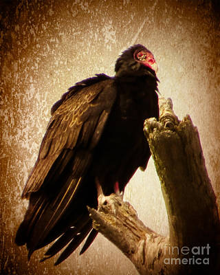 Photograph - Turkey Vulture by Dawn Gari