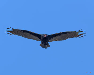 Photograph - Turkey Vulture Drb0225 by Gerry Gantt