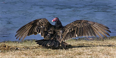 Photograph - Turkey Vulture Drying It's Wings by Betty Denise