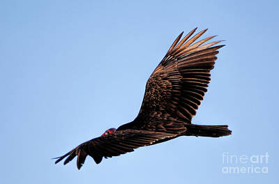 Photograph - Turkey Vulture by Elizabeth Winter